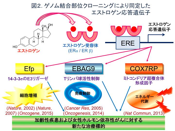 図2 ゲノム結合部位クローニングにより同定したエストロゲン応答遺伝子