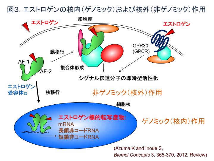 図3 エストロゲンの核内(ゲノミック)および核外(非ゲノミック)作用
