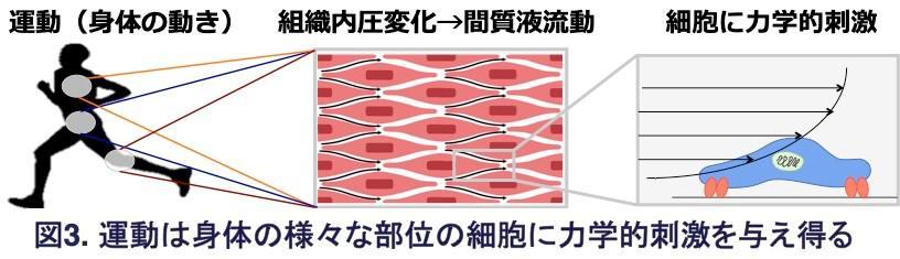 図3.運動は身体の様々な部位の細胞に力学的刺激を与え得る.jpg