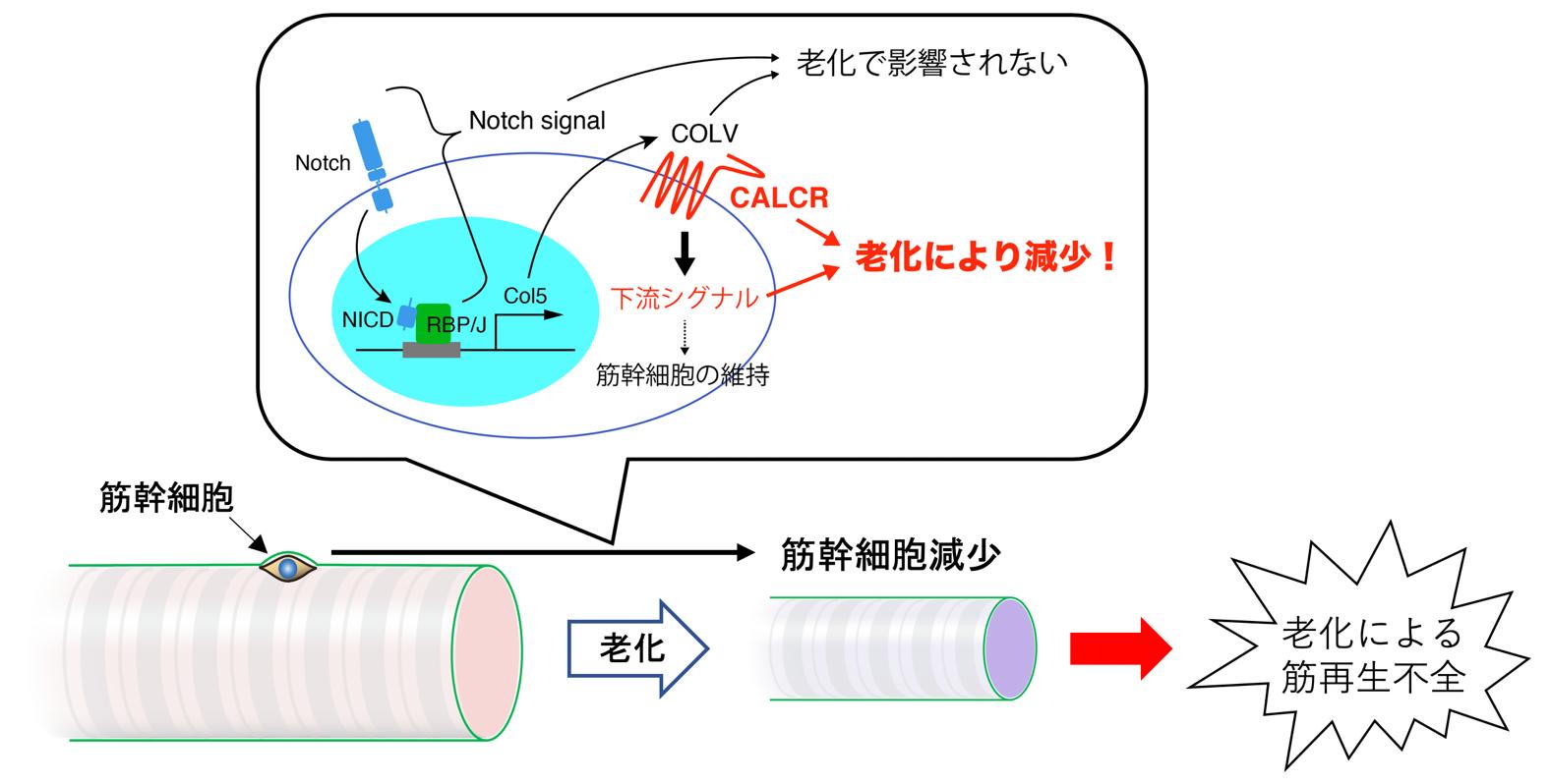 老化によるカルシトニン受容体の発現低下が筋幹細胞の減少を導くモデル