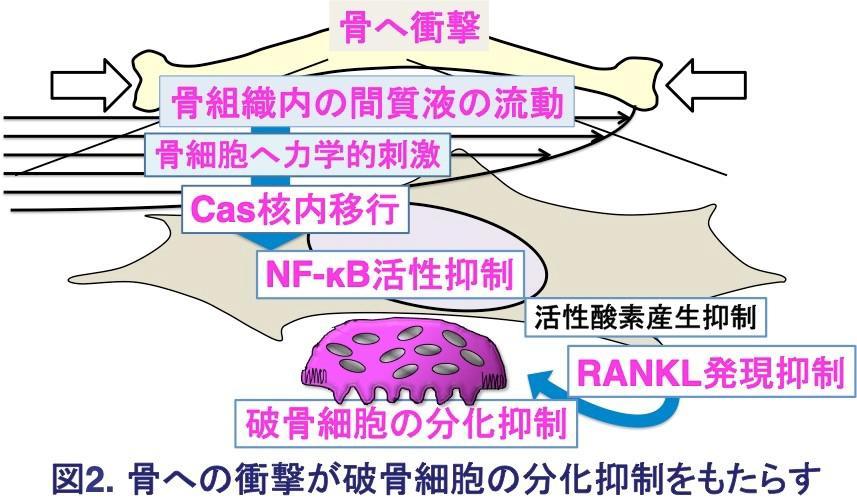 図2.骨への衝撃が破骨細胞の分化抑制をもたらす.jpg