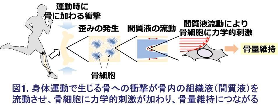 図1.身体活動で生じる骨への衝撃が骨内の組織駅(間質液)を流動させ、骨細胞に力学的刺激が加わり、骨量維持につながる.jpg