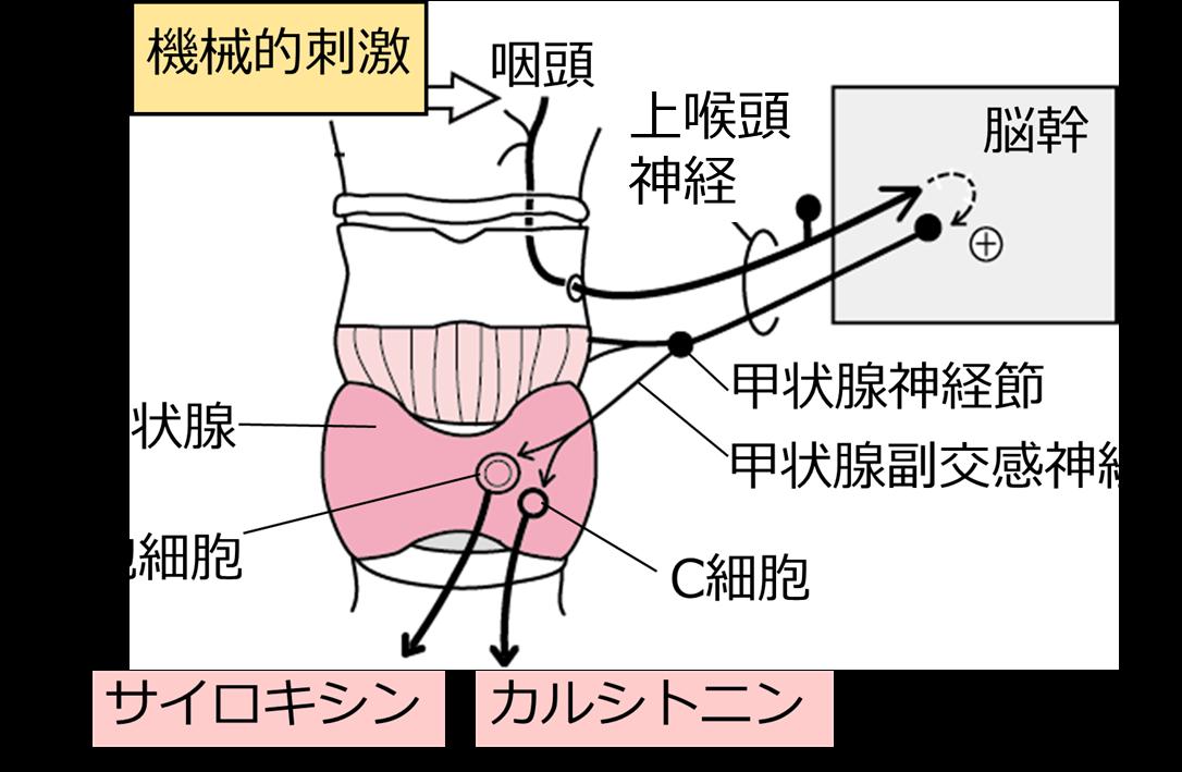咽頭への刺激で甲状腺からのホルモン分泌が増える.png