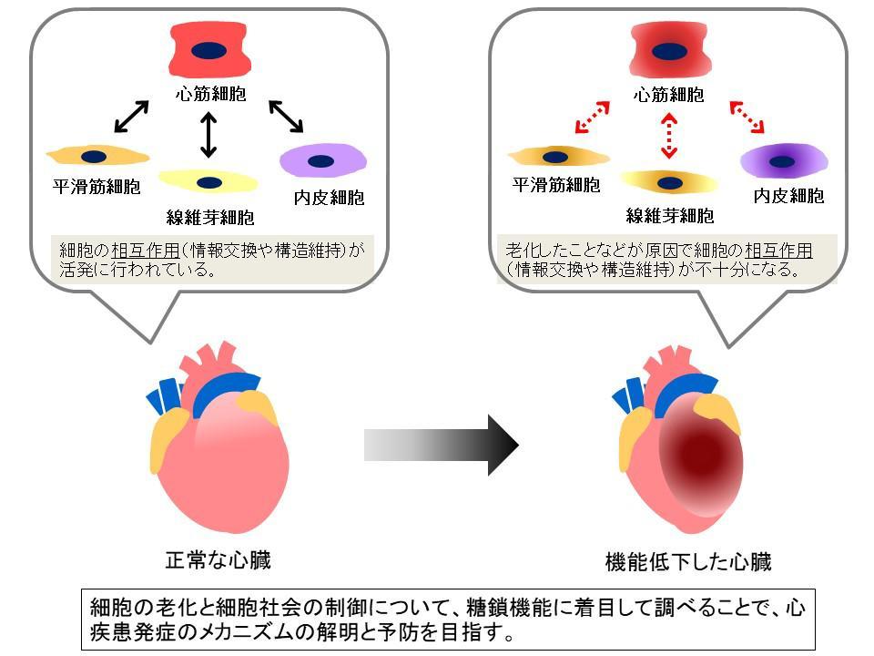 細胞の老化と細胞社会の制御について、糖鎖機能に着目して調べることで、心血管発症のメカニズムの解明と予防を目指す