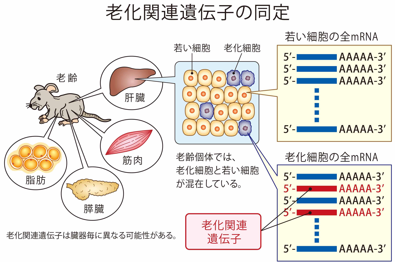 老化関連遺伝子 9_Ishigami_201802.jpg