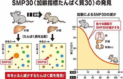 SMP30(加齢指標タンパク質30)の発見