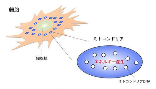 図1:細胞とミトコンドリアの模式図