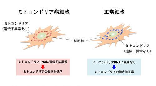 図2:ミトコンドリア病の細胞モデル