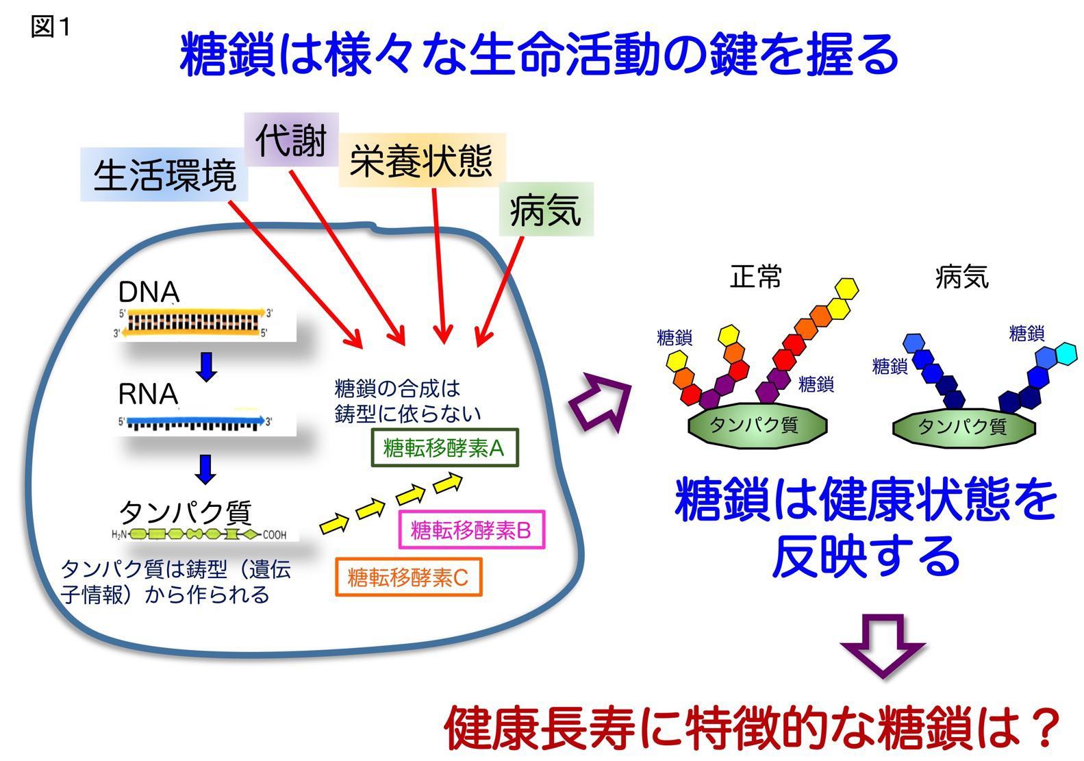 図1 糖鎖は様々な生命活動の鍵を握る
