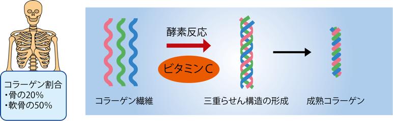 図1 コラーゲン繊維を作るのにビタミンCが必要