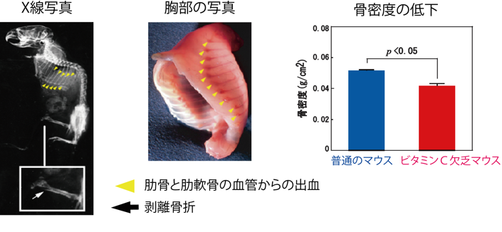 図2 ビタミンC欠乏マウスの壊血病症状