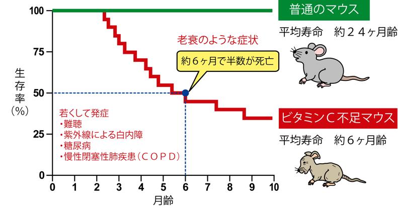 図4 ビタミンCが不足すると老化が速まる