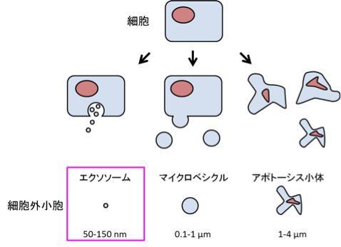 図1【エクソソームは細胞外小胞の1つである】