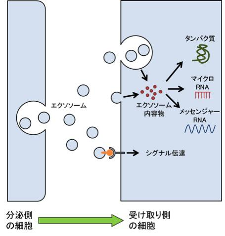 図4【エクソソームは細胞間のコミュニケーションに使われる】