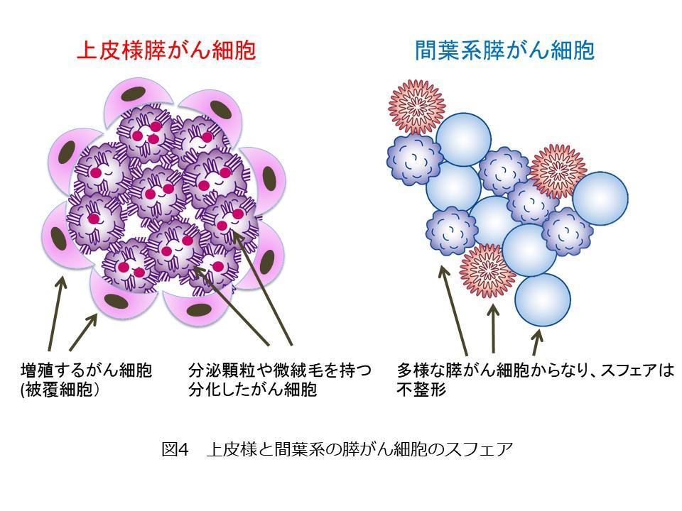 図4 上皮様と間葉系の膵がん細胞のスフェア.JPG