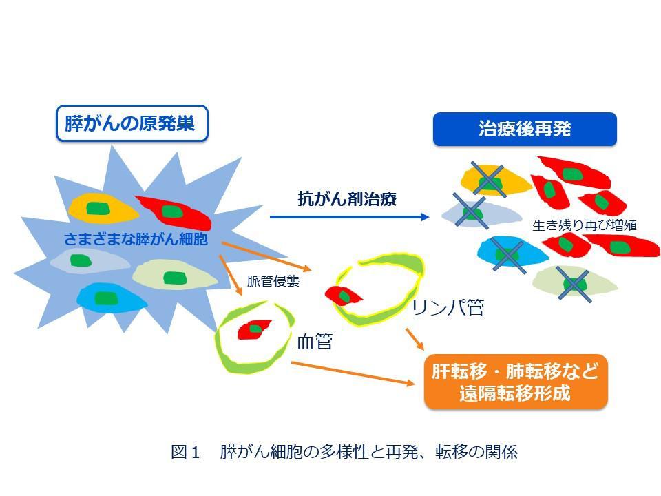 図1 膵がん細胞の多様性と再発、転移の関係.JPG