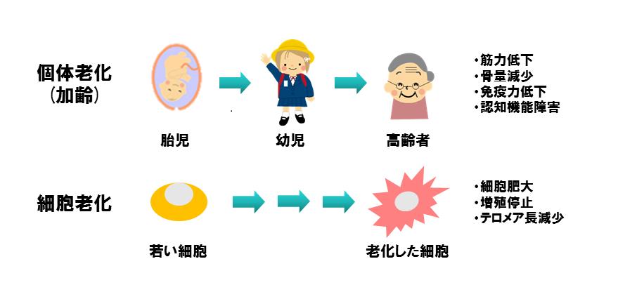 図1個体の老化と細胞の老化