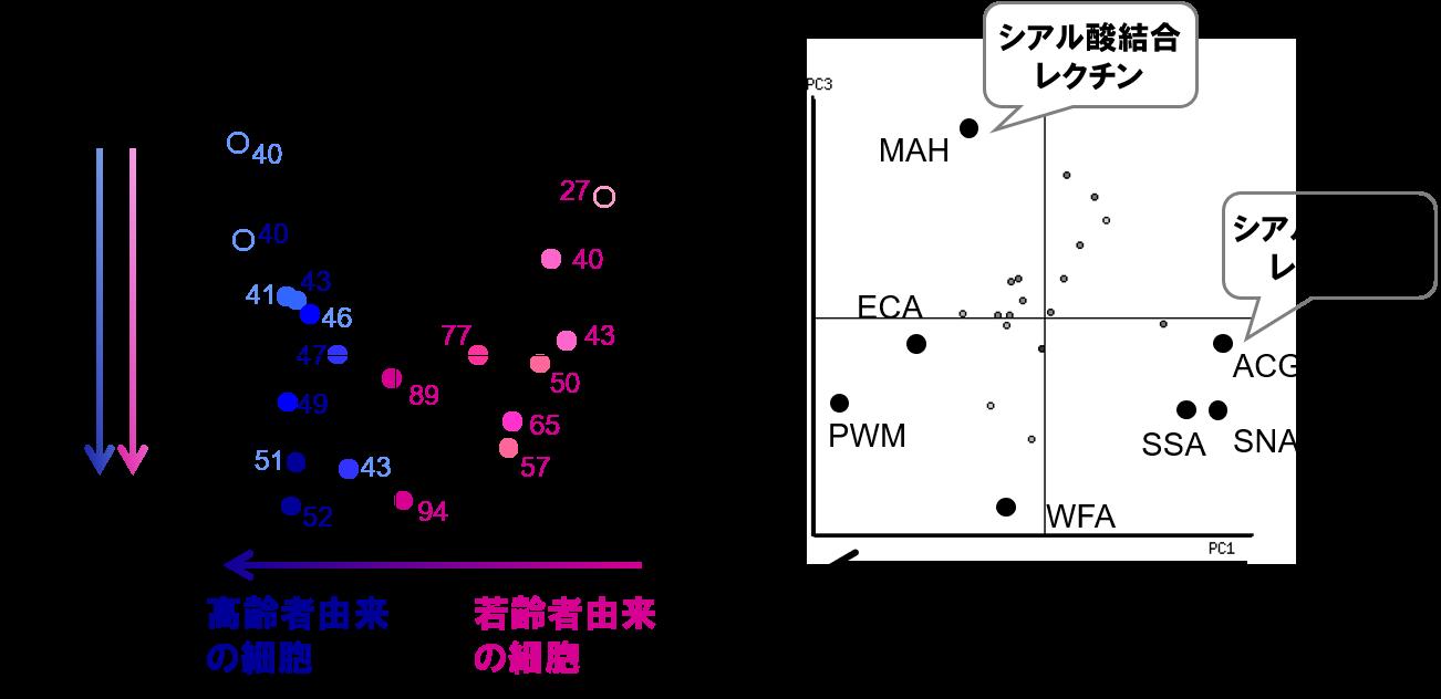 図3細胞表層糖鎖における細胞老化と個体老化