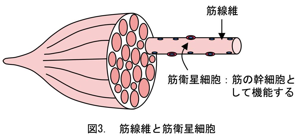 図3. 筋繊維と筋衛星細胞