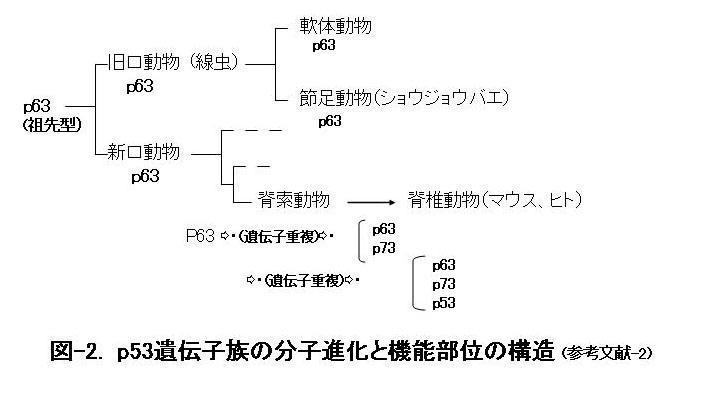 図-2. P53遺伝子族の分子進化と昨日部位の構造(参考文献-2)